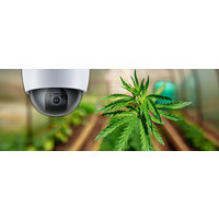 Cannabis image